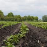 2013-05-23 Aardappelen Wietmarschen (IMG_2842)s